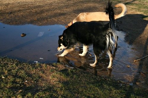 puddlepuppies