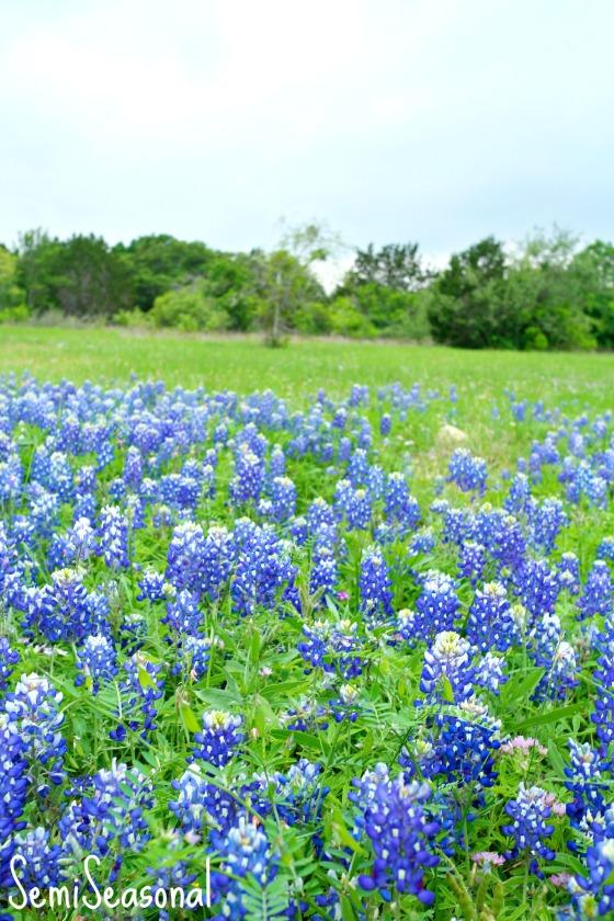 bluebonnetfield